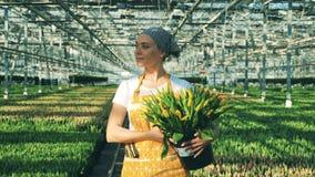 La mujer feliz sostiene un cubo con los tulipanes y los paseos dentro de un invernadero metrajes