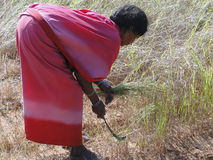 La mujer india utiliza una hoz para cosechar el germen de sésamo Fotos de archivo libres de regalías