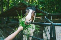 La mujer joven alimenta el caballo en la granja Imagenes de archivo