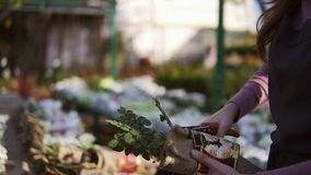 La mujer joven en el invernadero con las flores comprueba raíces de las rosas para saber si hay venta Florista de sexo femenino s metrajes