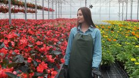 La mujer joven en el invernadero con las flores comprueba un pote de la poinsetia roja en el estante metrajes