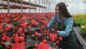 La mujer joven en el invernadero con las flores comprueba un pote de la poinsetia roja en el estante almacen de metraje de vídeo