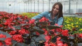 La mujer joven en el invernadero con las flores comprueba un pote de la poinsetia roja en el estante almacen de video