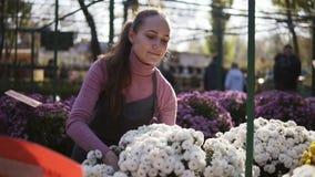La mujer joven en el invernadero con las flores comprueba un pote del crisantemo blanco Florista de sexo femenino sonriente atrac metrajes