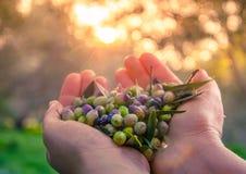 La mujer mantiene sus manos algunas de aceitunas frescas cosechadas Imagen de archivo libre de regalías