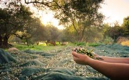 La mujer mantiene sus manos algunas de aceitunas frescas cosechadas Imagen de archivo