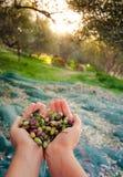 La mujer mantiene sus manos algunas de aceitunas frescas cosechadas Fotografía de archivo libre de regalías
