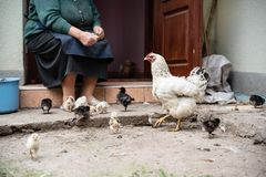 La mujer mayor alimenta los pequeños pollos en la yarda poultry foto de archivo libre de regalías