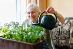 La mujer mayor de 90 años que riegan las plantas del perejil con agua puede en casa Fotos de archivo libres de regalías