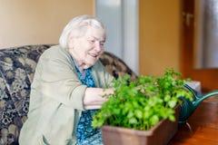 La mujer mayor de 90 años que riegan las plantas del perejil con agua puede en casa Fotografía de archivo libre de regalías
