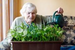 La mujer mayor de 90 años que riegan las plantas del perejil con agua puede en casa Imagen de archivo