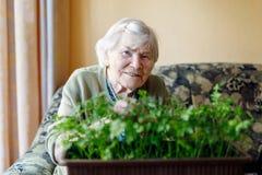 La mujer mayor de 90 años que riegan las plantas del perejil con agua puede en casa Imagen de archivo libre de regalías