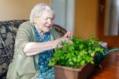 La mujer mayor de 90 años que riegan las plantas del perejil con agua puede en casa Fotos de archivo