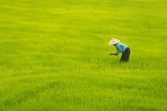 La mujer mayor vietnamita trabaja en campo del arroz Fotos de archivo