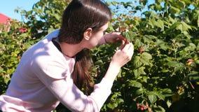 La mujer morena joven come las frambuesas, rasgándolo de los arbustos en el país almacen de video