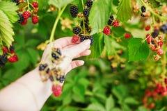 La mujer que recolecta las zarzamoras frescas madura en granja Fotos de archivo