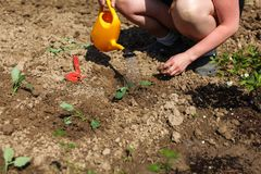 La mujer que riega el almácigo recientemente plantado con amarillo asperja puede imagenes de archivo
