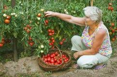 La mujer que trabaja en su jardín, recoge los tomates Fotos de archivo libres de regalías