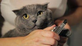 La mujer quita la raza gris de británicos del gato de las garras
