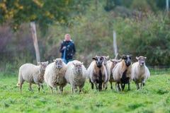 La mujer reúne un paquete de ovejas imagen de archivo