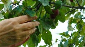 La mujer recoge un ciruelo de un árbol, una mano femenina, cosechando, primer almacen de metraje de vídeo