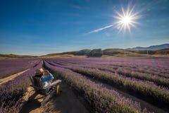 La mujer se relaja bajo sol en el campo de la lavanda, Nueva Zelanda imágenes de archivo libres de regalías