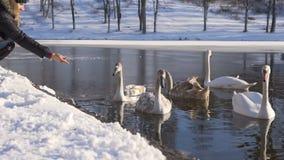 La mujer siembra la familia de pájaros hermosa del cisne en el lago winter almacen de metraje de vídeo