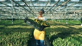 La mujer sonriente sostiene una cesta con los tulipanes amarillos, caminando cerca de camas de flor almacen de video