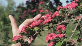 La mujer toca suavemente la rama con flores rojas florecientes de árbol de frutas almacen de video