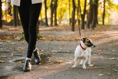 La mujer va con un perro que camina en el otoño - levante el terrier de Russell Fotos de archivo libres de regalías