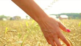 La mujer va a través del campo del trigo La mujer joven funciona con los oídos de un trigo de la entrega almacen de metraje de vídeo