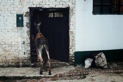 La mula está enarbolando adentro a la casa que espera a su jinete foto de archivo libre de regalías