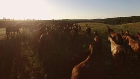 La multitud de caballos está corriendo almacen de metraje de vídeo