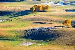 La multitud de cabras en la pradera Foto de archivo