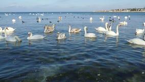La multitud de cisnes en el mar aúlla metrajes