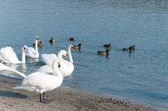 La multitud de cisnes mudos blancos hermosos nada en el agua azul rodeada por el foco selectivo de los patos Fotografía de archivo libre de regalías