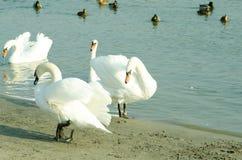 La multitud de cisnes mudos blancos hermosos nada en el agua azul rodeada por el foco selectivo de los patos Fotos de archivo