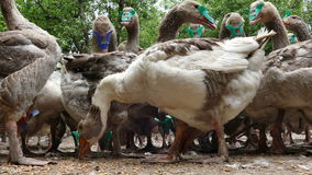 La multitud de gansos nacionales come maíz metrajes