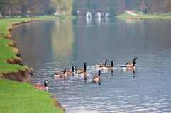 La multitud de gooses en el agua Fotografía de archivo