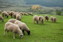 La multitud de las ovejas, ovejas, ovejas cultiva, pasta, pastando, él Imagen de archivo libre de regalías