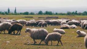 La multitud de las ovejas que pastan y come la hierba en prado Paseo de los animales en campo almacen de metraje de vídeo