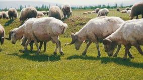 La multitud de las ovejas que pastan y come la hierba en prado Paseo de los animales en campo Cámara lenta almacen de metraje de vídeo
