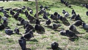 La multitud de las palomas de la ciudad se sienta en hierba almacen de video