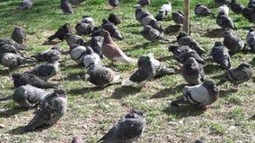 La multitud de las palomas de la ciudad se sienta en hierba almacen de metraje de vídeo
