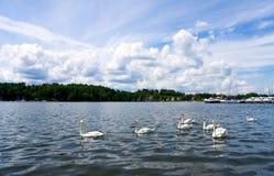 La multitud de los cisnes de la natación fotografía de archivo
