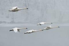 La multitud de los cisnes del trompetista vuela sobre el río Imagen de archivo libre de regalías