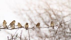 La multitud de los gorriones se encaramó en una rama en el invierno que cantaban a ellos mismos Foto de archivo