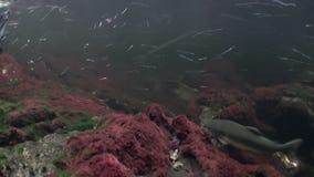 La multitud de los pescados de color salmón nada para frezar bajo el agua en el océano de Alaska metrajes