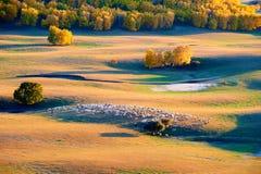 La multitud de ovejas en la puesta del sol del pasto Imagen de archivo libre de regalías