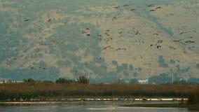 La multitud de pájaros es el volar por encima de la superficie almacen de metraje de vídeo